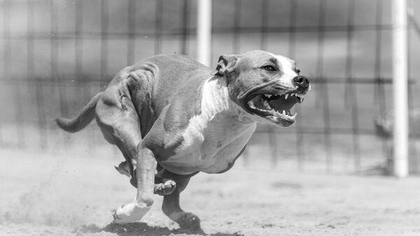 Un perro enojado - Sputnik Mundo