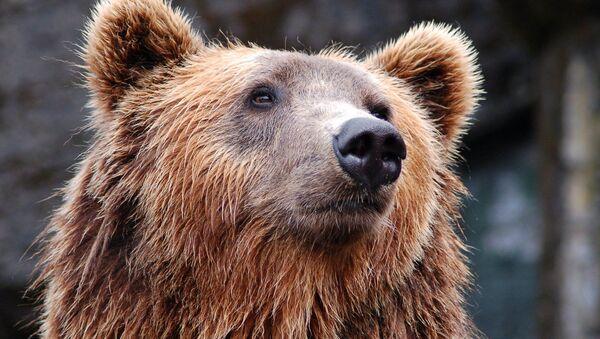 Un oso (archivo) - Sputnik Mundo