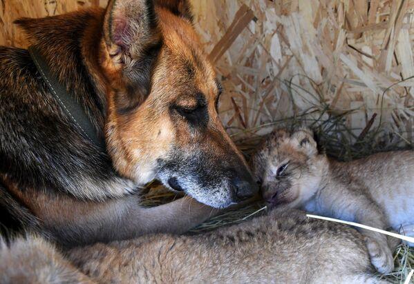 Cómo una perra se convirtió en la madre de unos cachorros de león   - Sputnik Mundo