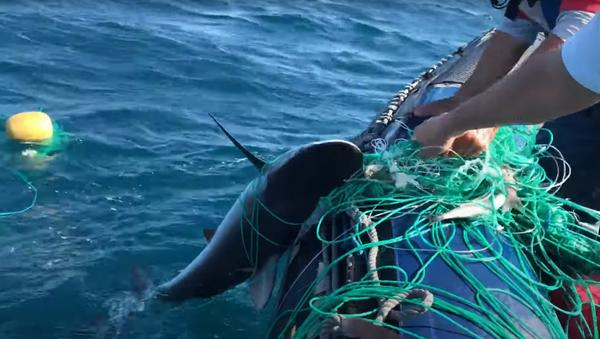 Un tiburón rescatado en Galápagos - Sputnik Mundo