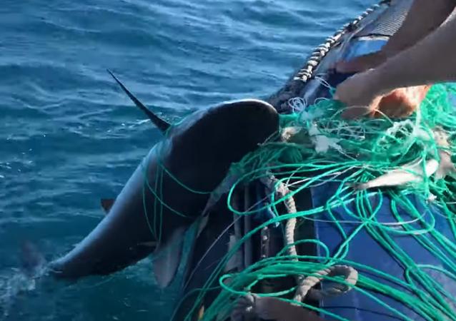 Un tiburón rescatado en Galápagos