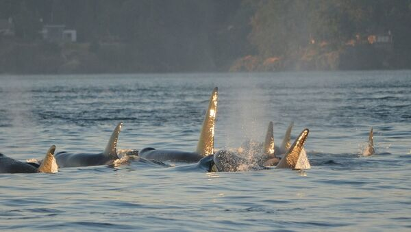Un grupo de ballenas orcas (archivo) - Sputnik Mundo