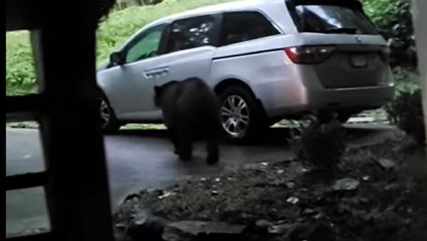 Este oso actúa como si fuera el dueño de un auto - Sputnik Mundo
