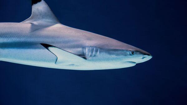 Un tiburón de puntas negras (archivo) - Sputnik Mundo