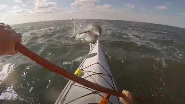 Un delfín salta sobre un kayak - Sputnik Mundo