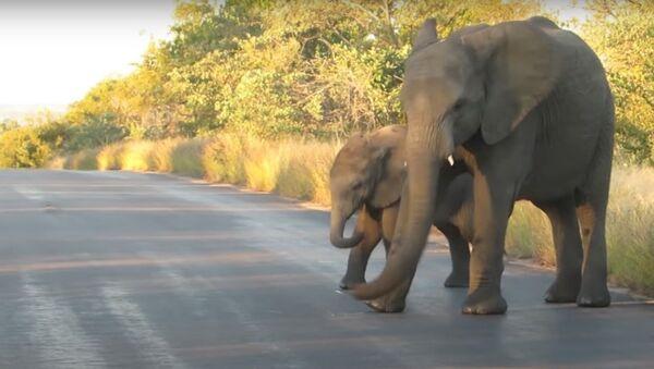 Dos elefantes en el parque nacional Kruger, Sudáfrica. - Sputnik Mundo