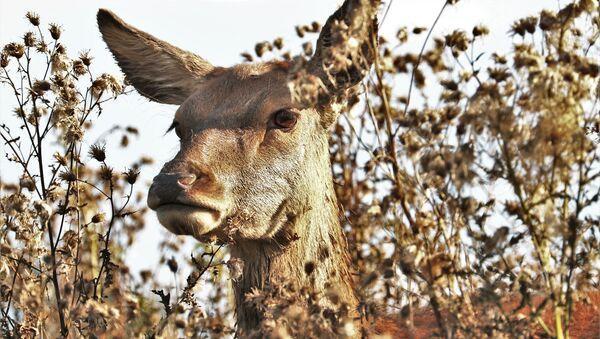 Un ciervo - Sputnik Mundo