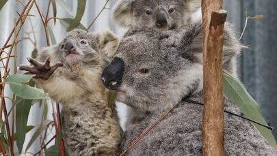 ¿Cómo rescatan a los koalas afectados por los incendios forestales?