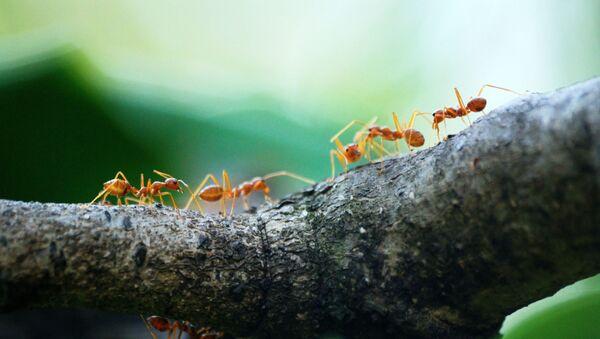 Unas hormigas - Sputnik Mundo