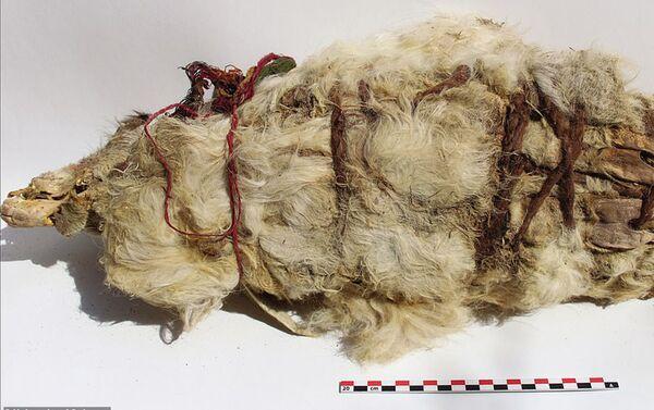 Una llama blanca momificada - Sputnik Mundo