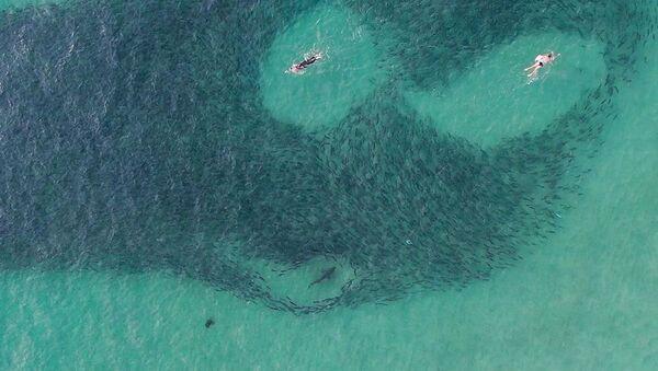Unos bañistas despistados nadan lado a lado con tiburones hambrientos en Australia - Sputnik Mundo