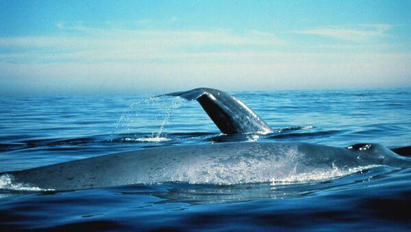 Una ballena azul - Sputnik Mundo
