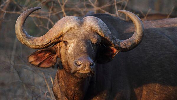 Un búfalo, referencial - Sputnik Mundo