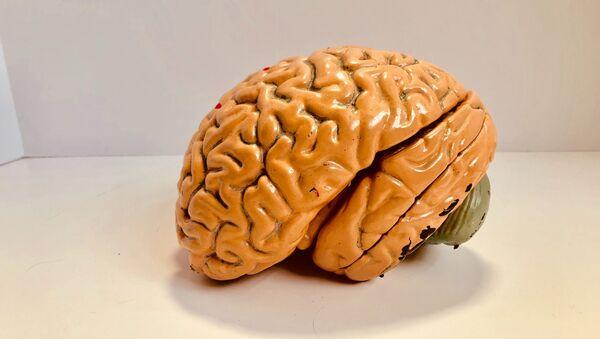 El modelo de un cerebro - Sputnik Mundo