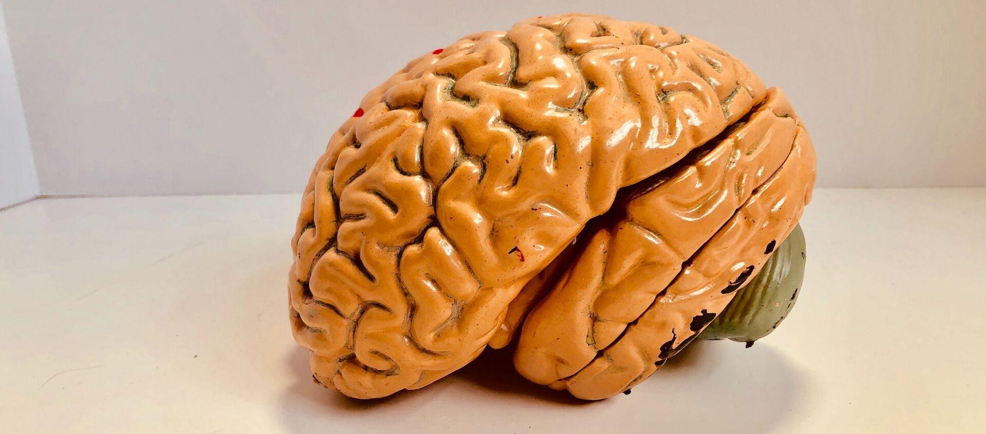 El modelo de un cerebro - Sputnik Mundo, 1920, 18.12.2020