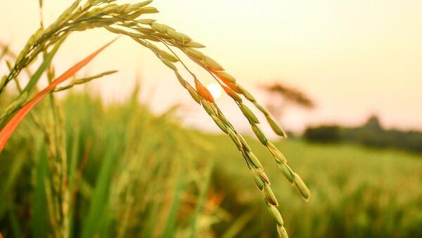 Las semillas de arroz - Sputnik Mundo