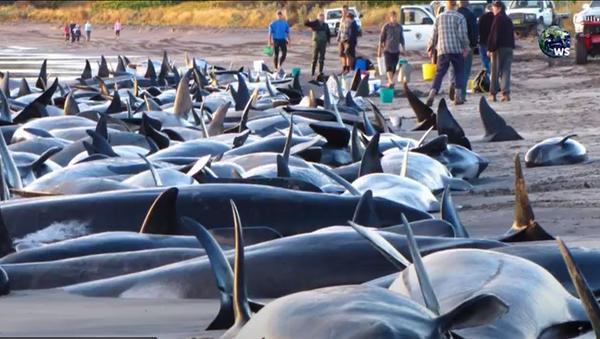 Las ballenas varadas en la costa de Sri Lanka - Sputnik Mundo