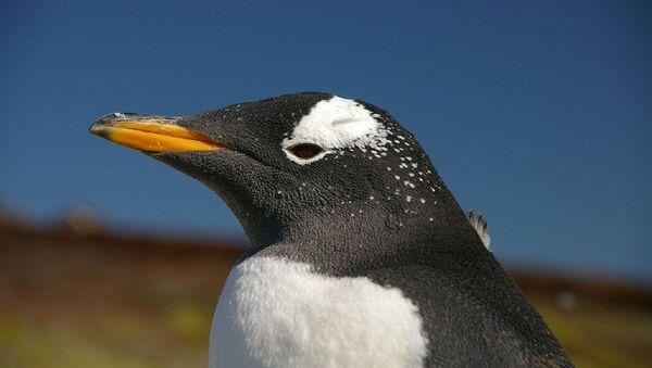 Un pingüino Pygoscelis papua papua - Sputnik Mundo