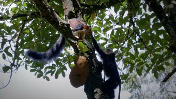 Un macaco abofetea a una ardilla por una fruta madura - Sputnik Mundo