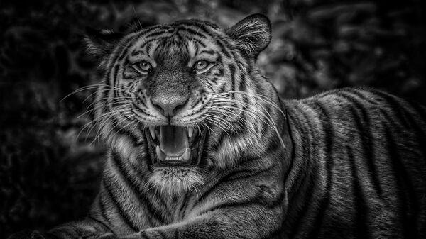 Tigre (imagen referencial) - Sputnik Mundo