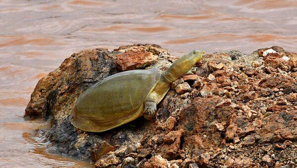 Una tortuga de caparazón de colgajo india  - Sputnik Mundo