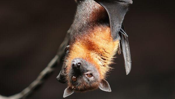 Un murciélago (imagen referencial) - Sputnik Mundo