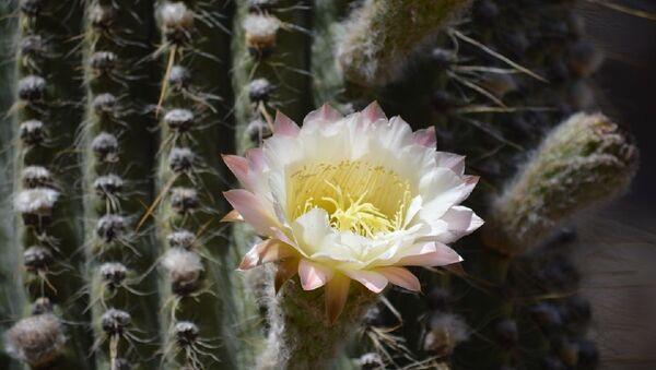Un cactus - Sputnik Mundo