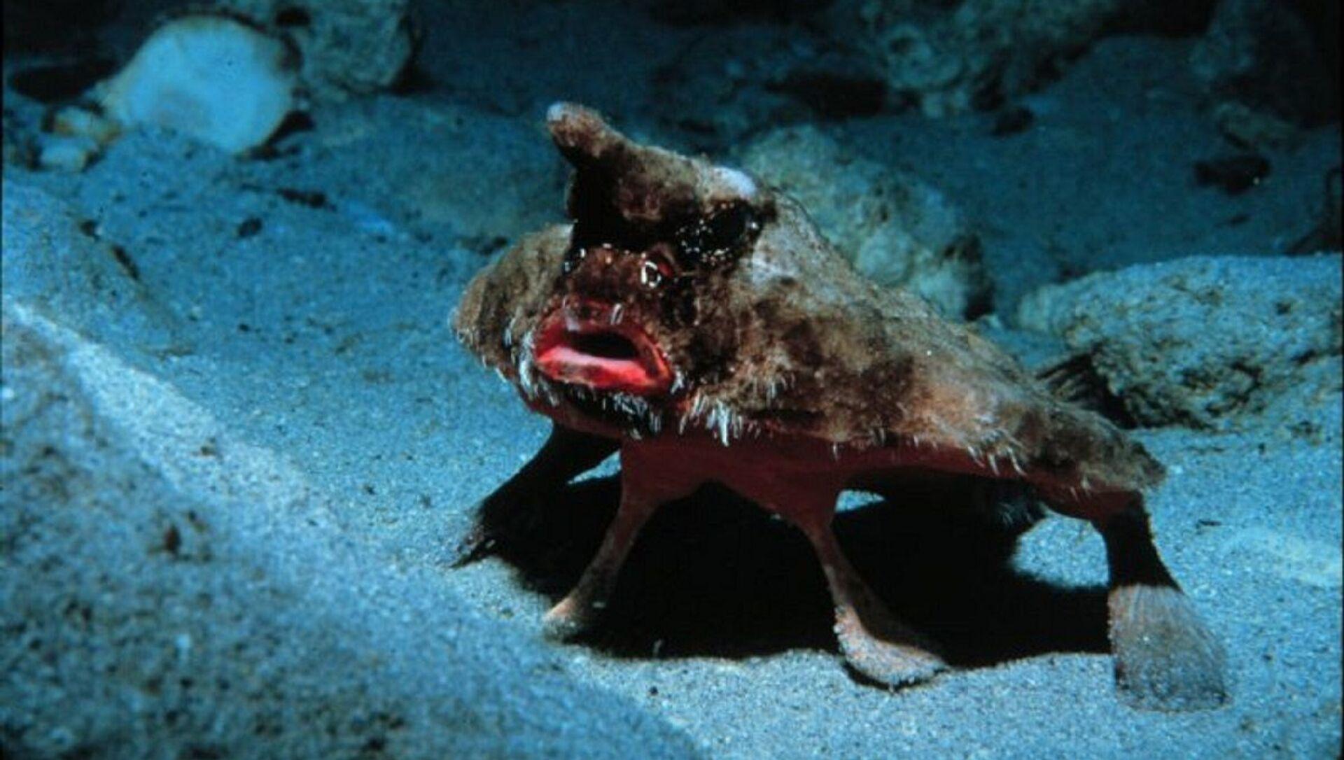 Un pez murciélago - Sputnik Mundo, 1920, 13.11.2020