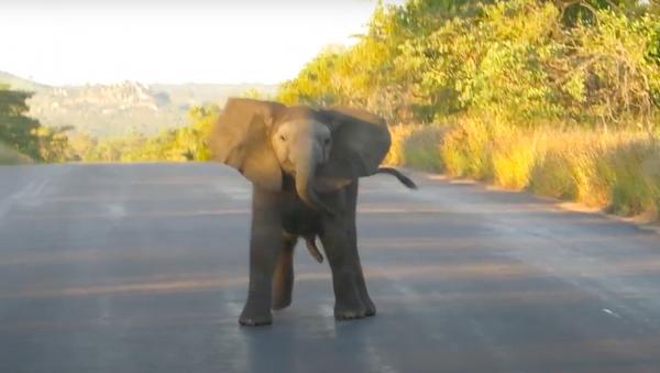Un bebé elefante 'baila' en una carretera - Sputnik Mundo