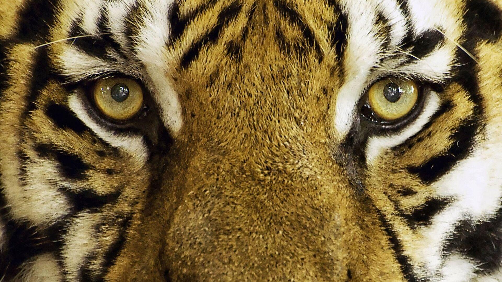 Un tigre (imagen referencial) - Sputnik Mundo, 1920, 06.08.2021