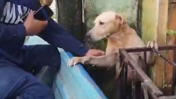 Rescatan en México a un perrito atrapado por las inundaciones - Sputnik Mundo