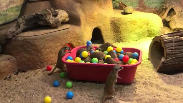 Una familia de suricatas se divierte en un pelotero en el zoológico de Moscú - Sputnik Mundo