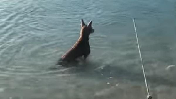 Un perro se abalanza contra un tiburón para defender a su dueño - Sputnik Mundo