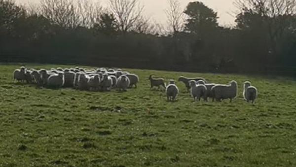 Una cabra asume el papel de un perro pastor - Sputnik Mundo