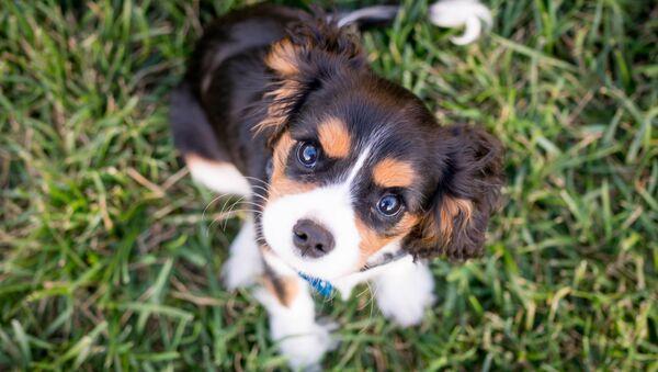 Un cachorro de la raza Cavalier King Charles Spaniel (archivo) - Sputnik Mundo