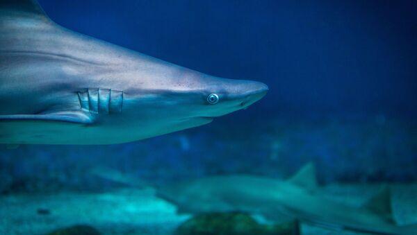 Un tiburón (archivo) - Sputnik Mundo