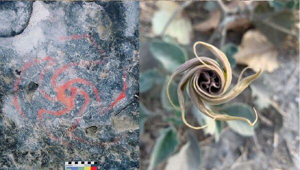 El dibujo en la bóveda de la cueva del Molinillo y la flor de Datura wrightii - Sputnik Mundo