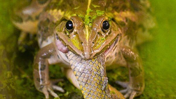 Una rana se come a una serpiente - Sputnik Mundo