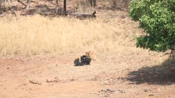 Un tigre de Bengala ataca al oso más mortal del mundo (captura de pantalla) - Sputnik Mundo