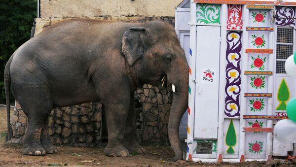 El elefante Kaavan espera ser transportado a un santuario en Camboya - Sputnik Mundo
