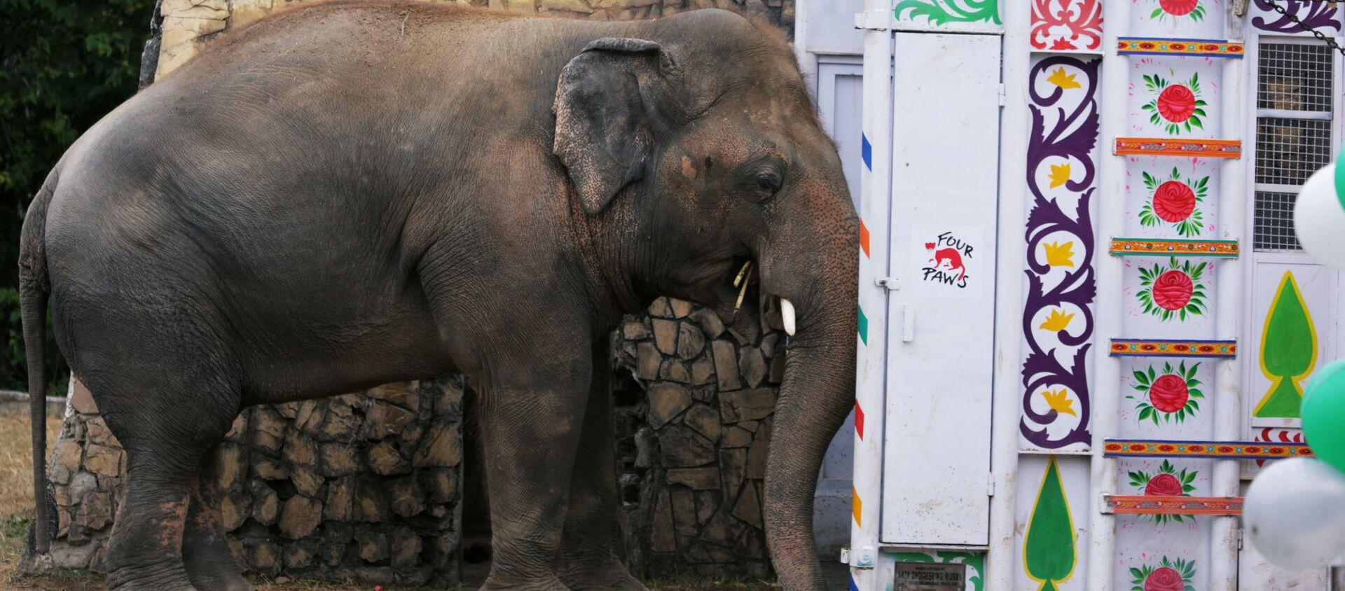 El elefante Kaavan espera ser transportado a un santuario en Camboya - Sputnik Mundo, 1920, 30.11.2020
