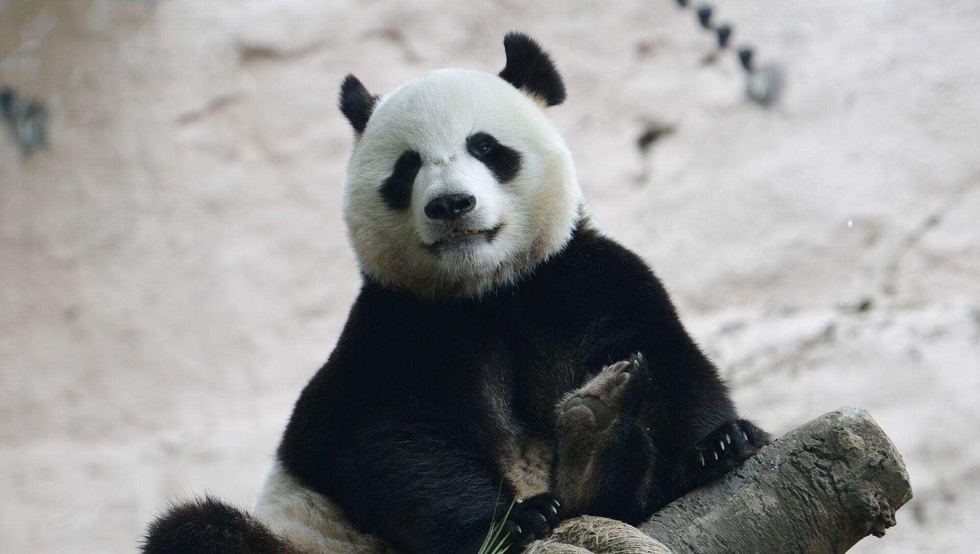 Panda en el Zoológico de Moscú - Sputnik Mundo, 1920, 06.02.2021