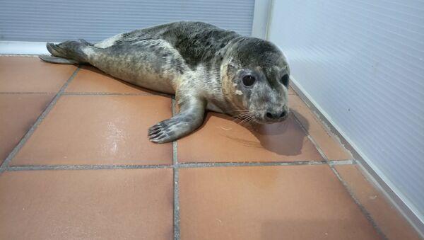 Los dos cachorros de lobo marino se recuperan en las instalaciones de CEMMA - Sputnik Mundo