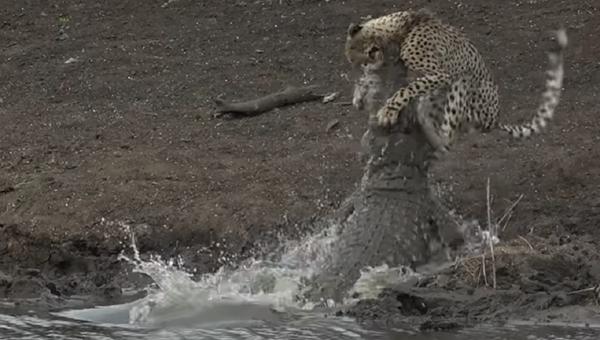 Un guepardo cae en las fauces de un cocodrilo - Sputnik Mundo