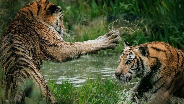 Una pelea de tigres (archivo) - Sputnik Mundo