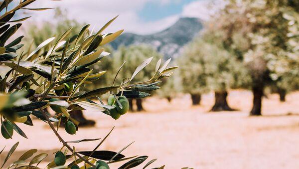 Un olivo (imagen referencial) - Sputnik Mundo