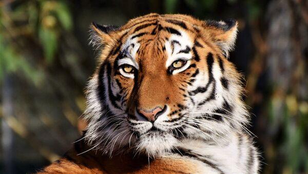 Un tigre ataca a su adiestrador en pleno espectáculo - Sputnik Mundo