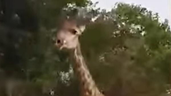 Un grupo de turistas saca de sus casillas a una jirafa en Kenia  - Sputnik Mundo