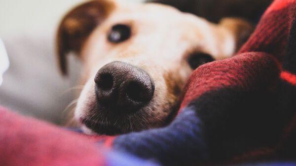 La nariz de un perro (imagen referencial) - Sputnik Mundo