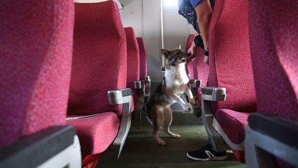 Un perro en un avión (imagen referencial) - Sputnik Mundo